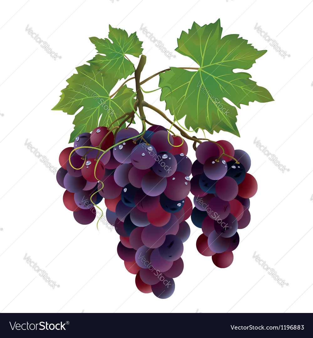 Realistic black grape with water drops vector | Price: 1 Credit (USD $1)