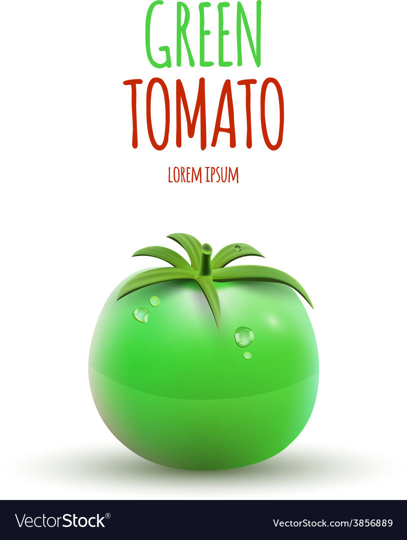 Green tomato isolated on white background vector   Price: 1 Credit (USD $1)