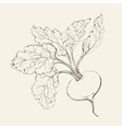 Beet root vector