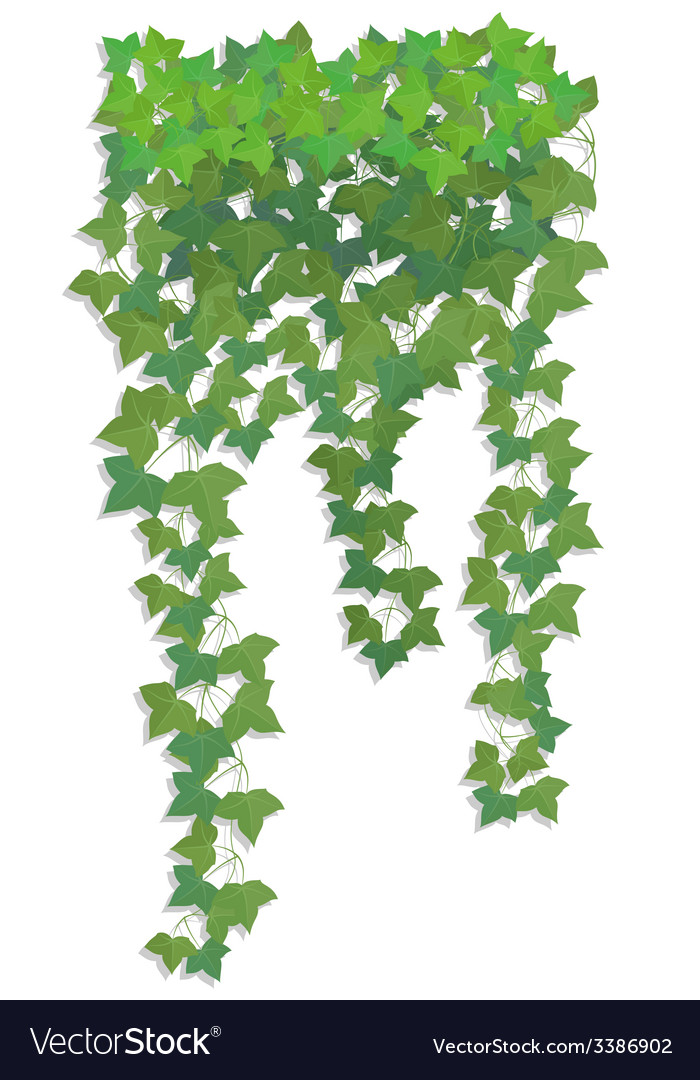Hanging branches of ivy vector | Price: 1 Credit (USD $1)
