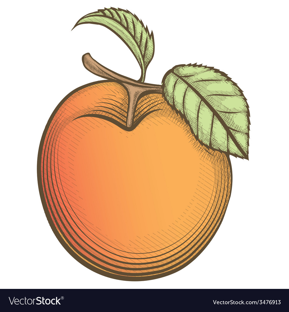 Engraving apricot in vintage style vector | Price: 1 Credit (USD $1)