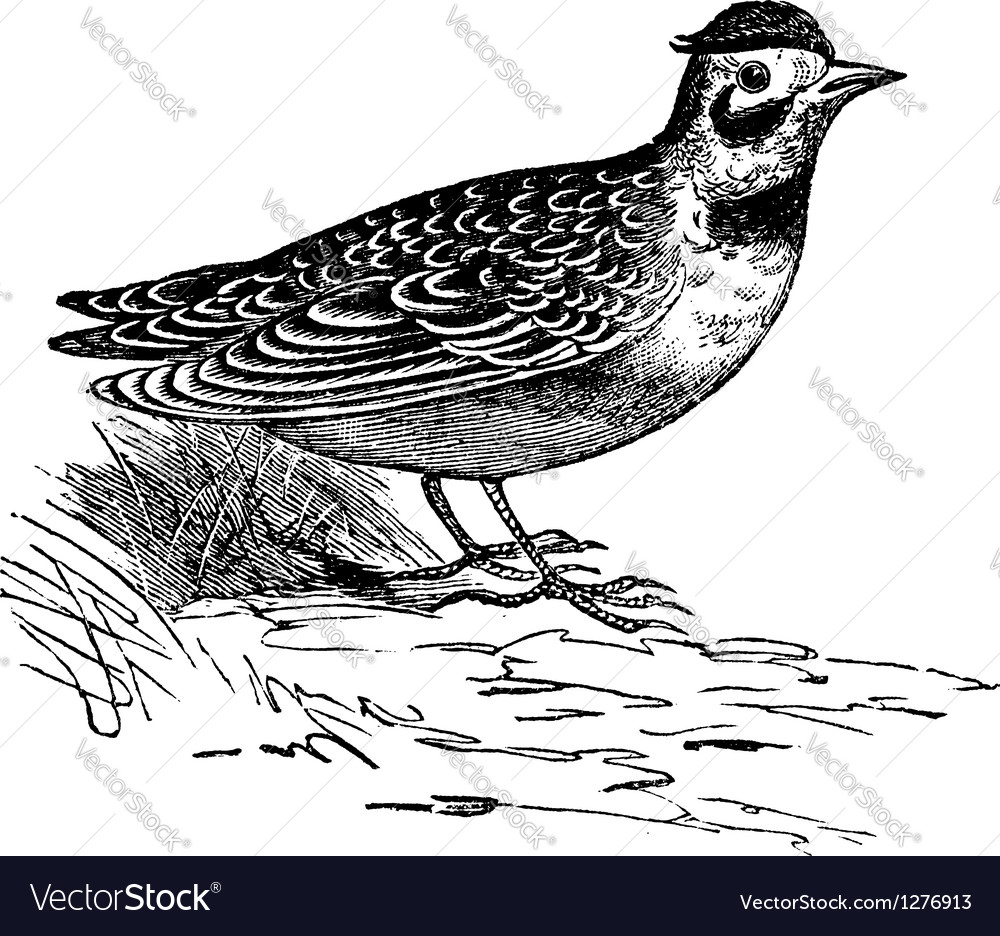 Horned lark vintage engraving vector | Price: 1 Credit (USD $1)
