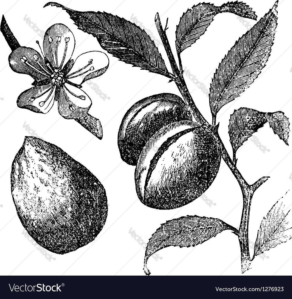Almond tree vintage engraving vector | Price: 1 Credit (USD $1)