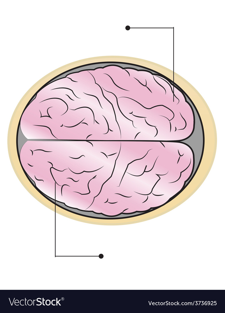 Sections of human brain vector | Price: 1 Credit (USD $1)