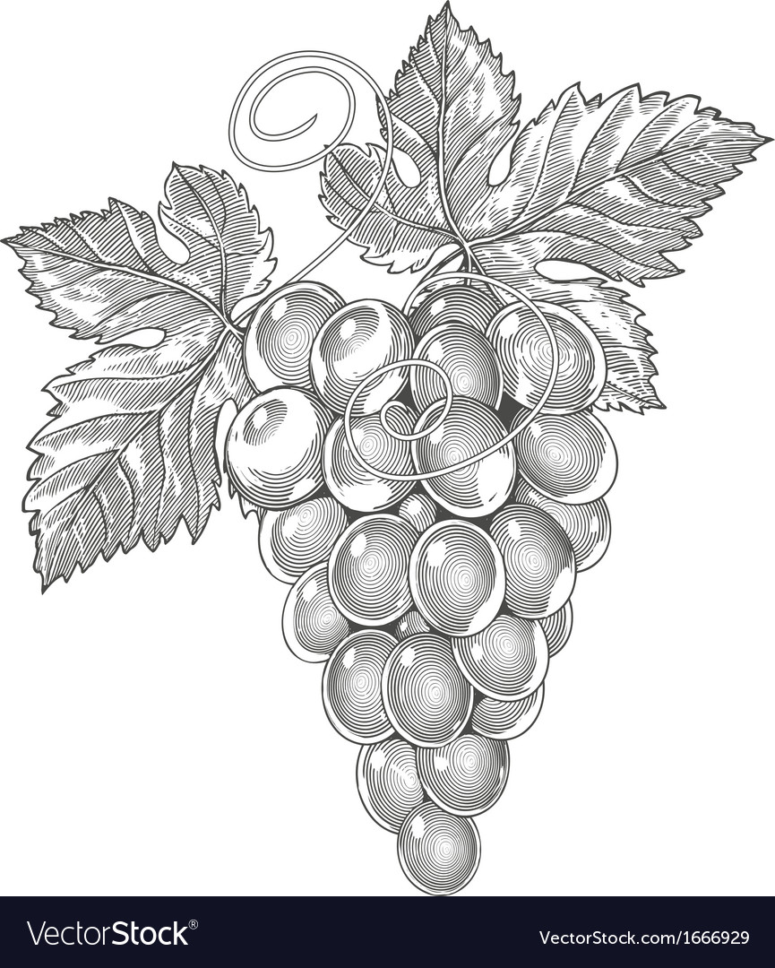 Grape in vintage engraved style vector | Price: 1 Credit (USD $1)