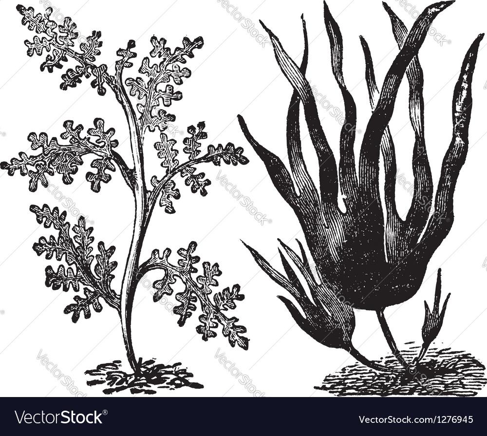 Pepper red algae engraving vector | Price: 1 Credit (USD $1)