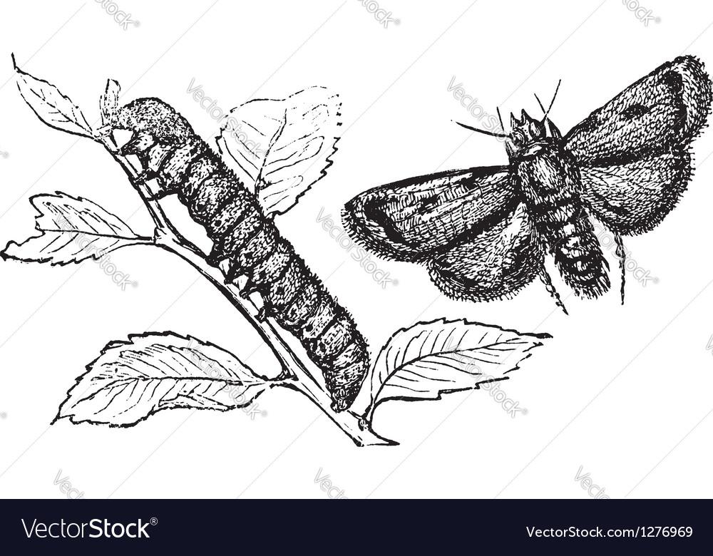Turnip moth vector   Price: 1 Credit (USD $1)