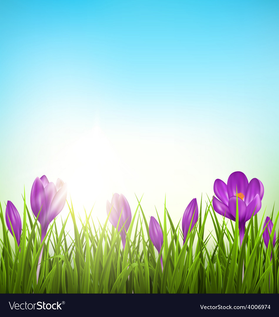 Green grass lawn with violet crocuses and sunrise vector | Price: 1 Credit (USD $1)
