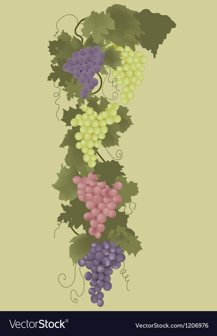 Grape ornament vector | Price: 1 Credit (USD $1)