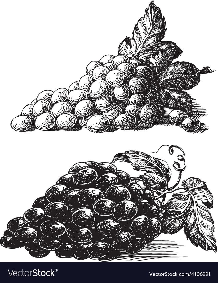 Grape logo design template grapevine or vector | Price: 3 Credit (USD $3)