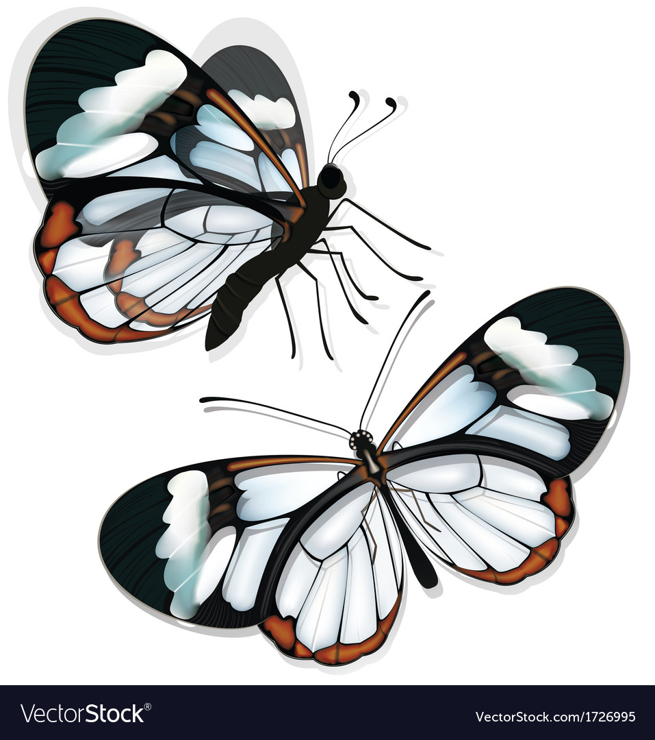 Butterfly with transparent wings vector | Price: 1 Credit (USD $1)