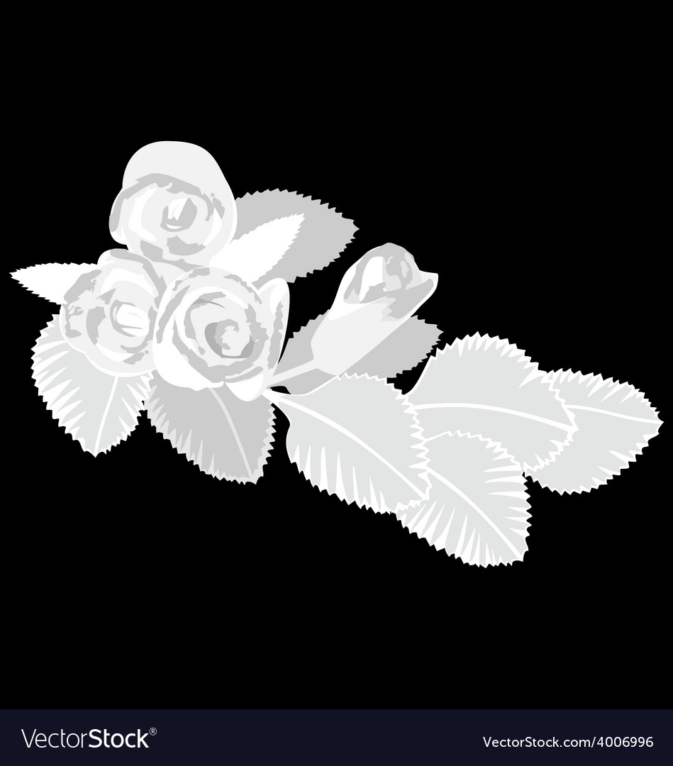 White roses isolated on black vector | Price: 1 Credit (USD $1)