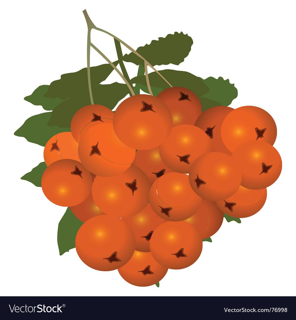 Rowan berry vector   Price: 1 Credit (USD $1)
