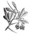 American hawthorn vintage engraving vector