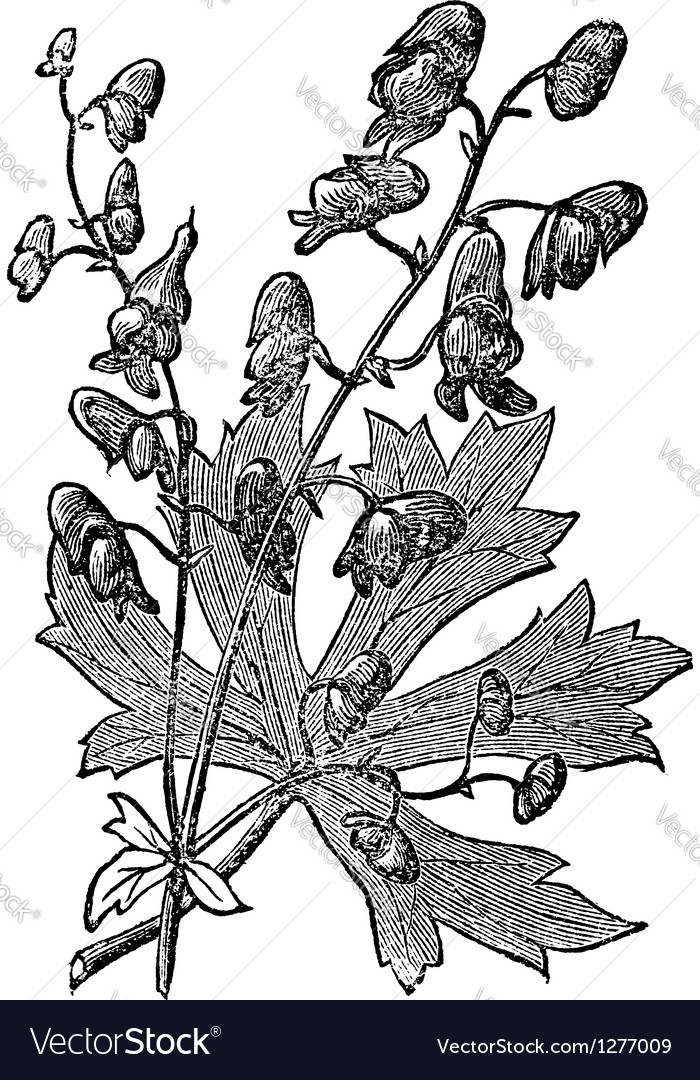 Flower of monkshood engraved vector | Price: 1 Credit (USD $1)