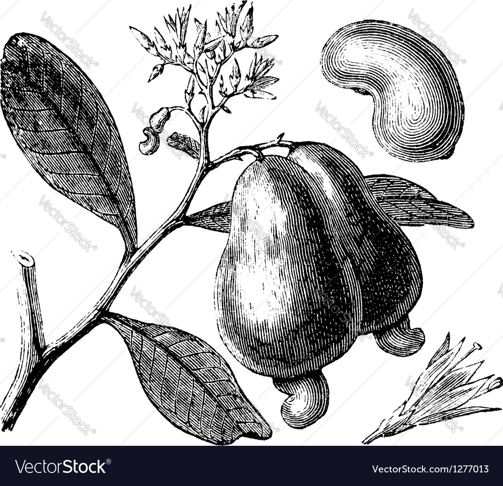 Occidental cashew engraving vector | Price: 1 Credit (USD $1)