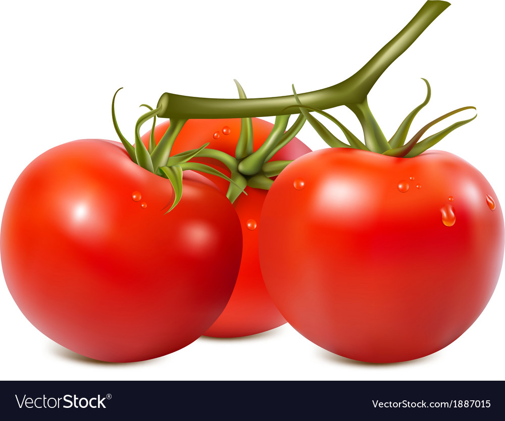 Ripe tomatoes branch with water drops vector | Price: 1 Credit (USD $1)