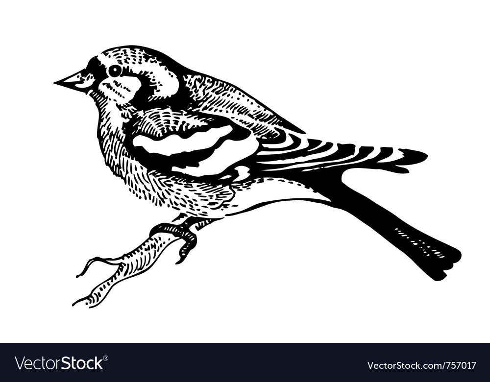 Chaffinch bird hand-drawn vector | Price: 1 Credit (USD $1)