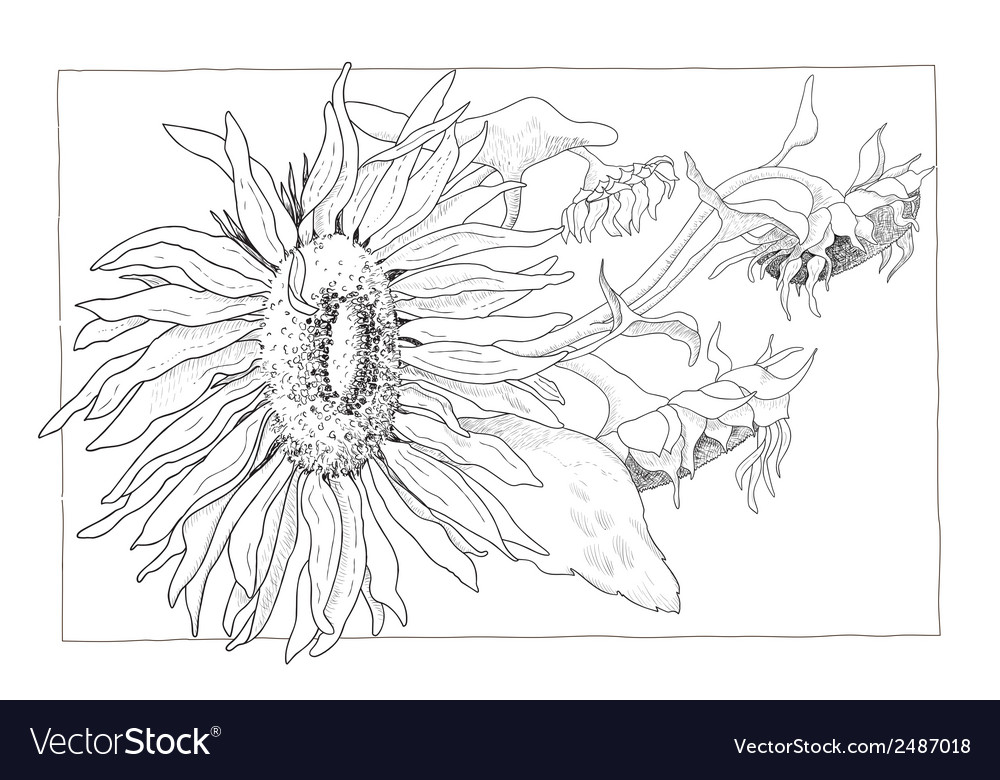 Sunflower in black and white vector | Price: 1 Credit (USD $1)