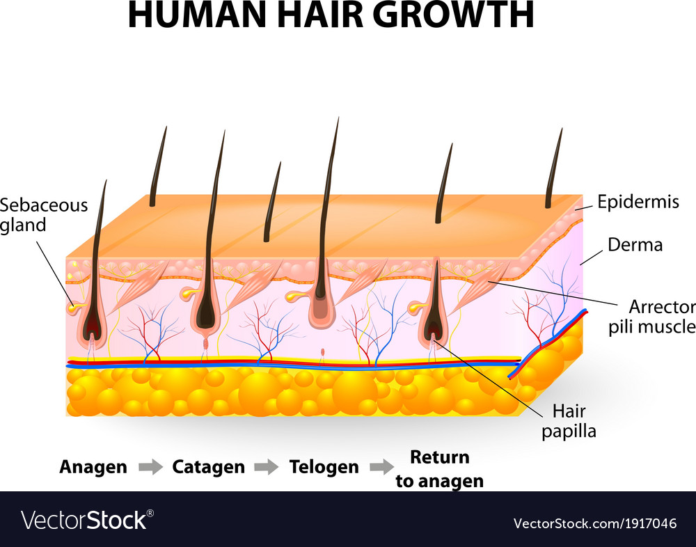 Human hair growth vector | Price: 1 Credit (USD $1)
