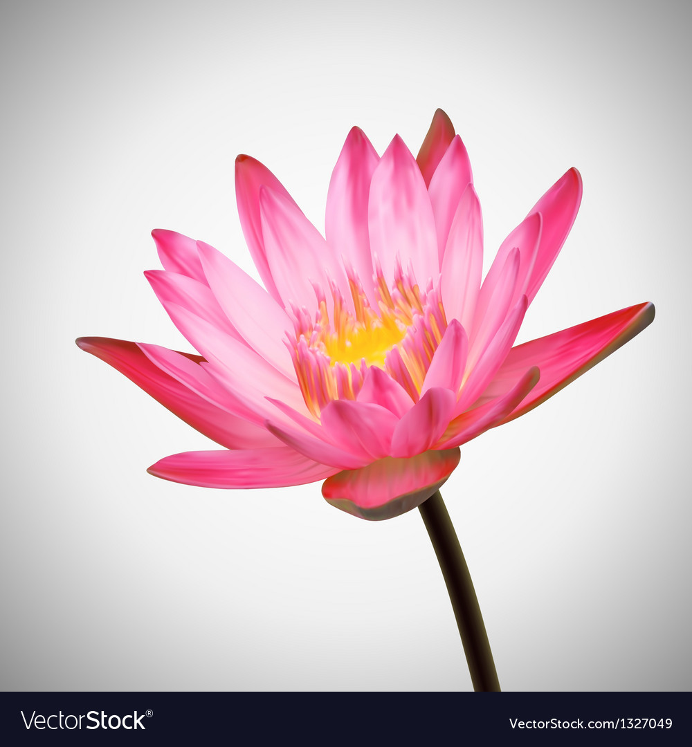Beautiful flower bloom water lily background vector | Price: 1 Credit (USD $1)