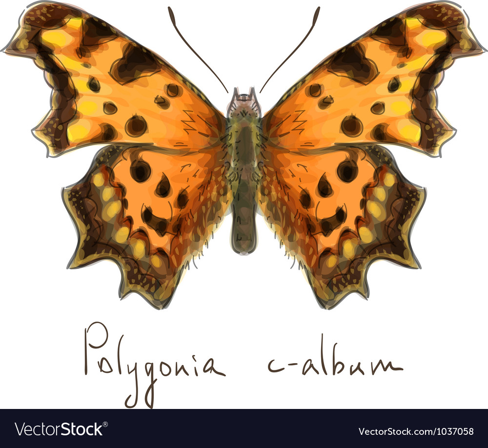 Butterfly polygonia c-album watercolor imitation vector | Price: 1 Credit (USD $1)