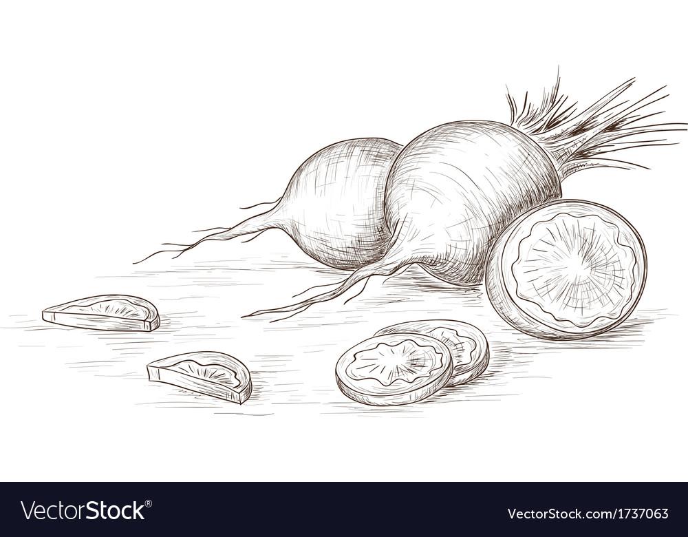 Hand drawn radish vector   Price: 1 Credit (USD $1)