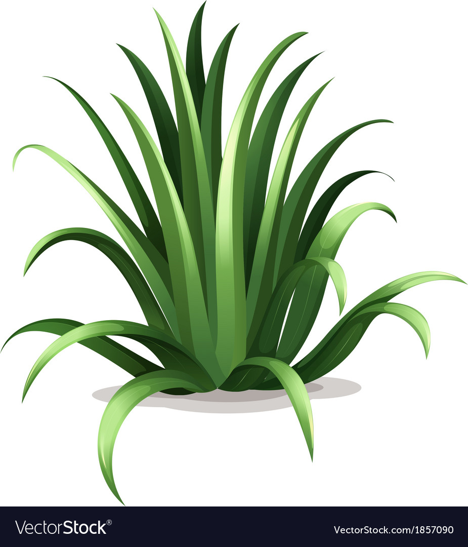 Agave bracteosa vector | Price: 1 Credit (USD $1)