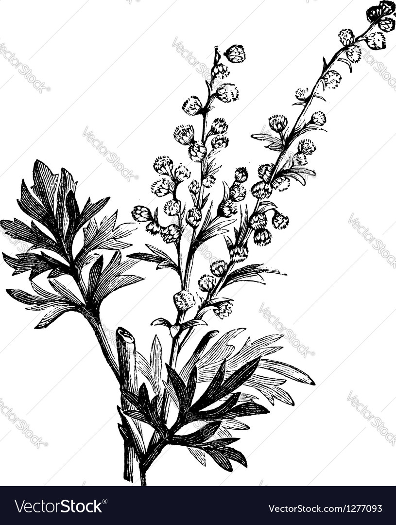 Wormwood vintage engraving vector | Price: 1 Credit (USD $1)