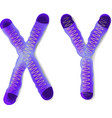 X and y chromosomes vector