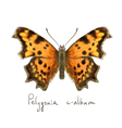 Butterfly polygonia c-album watercolor imitation vector