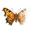 Butterfly polygonia c-album vector