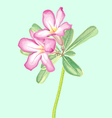 Watercolor painting of impala lily vector