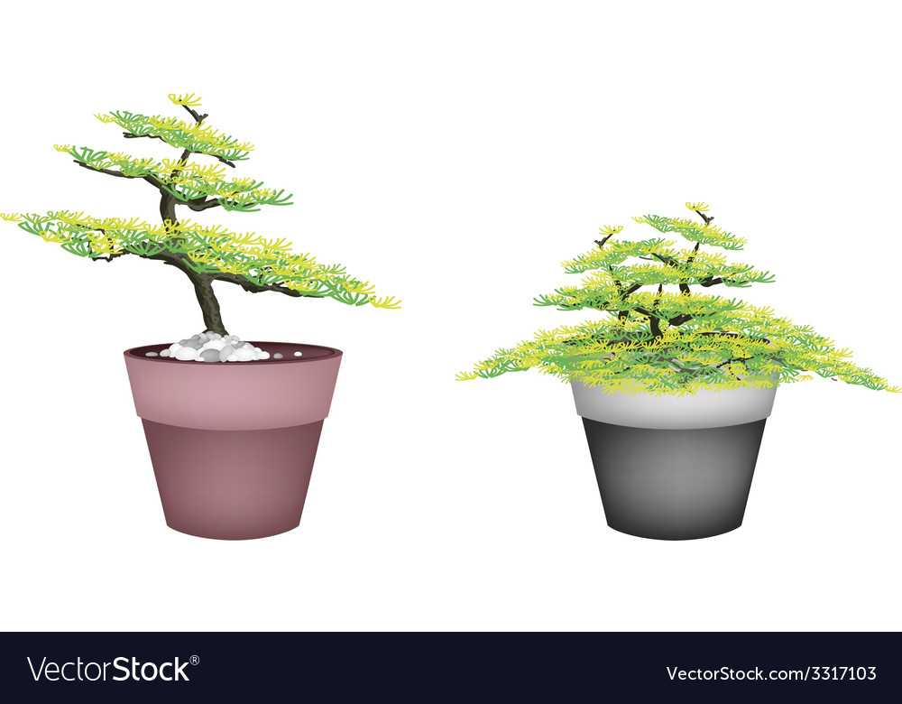 Two beautiful fir tree in flower pots vector | Price: 1 Credit (USD $1)