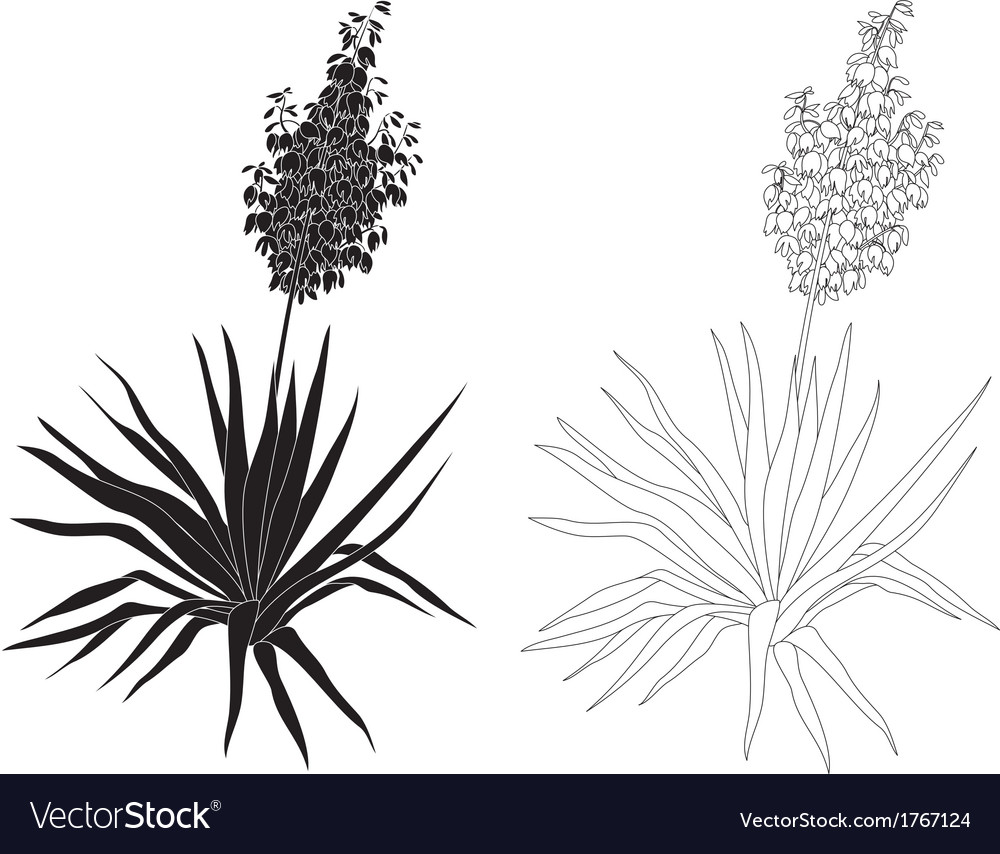 Plant yucca contours and silhouettes vector | Price: 1 Credit (USD $1)