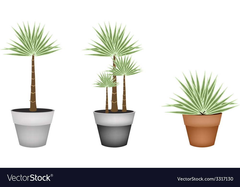 Three palm trees in ceramic flower pot vector | Price: 1 Credit (USD $1)