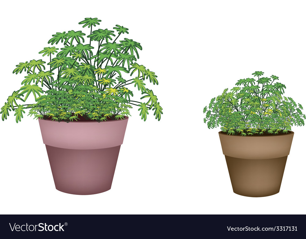 Two evergreen plant in terracotta pots vector | Price: 1 Credit (USD $1)