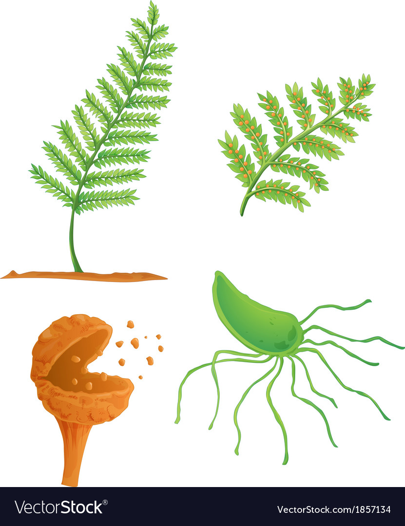 Fern life cycle vector | Price: 1 Credit (USD $1)
