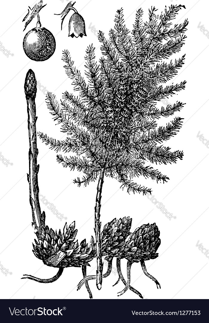 Asparagus engraving vector | Price: 1 Credit (USD $1)