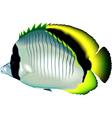 Butterflyfish vector