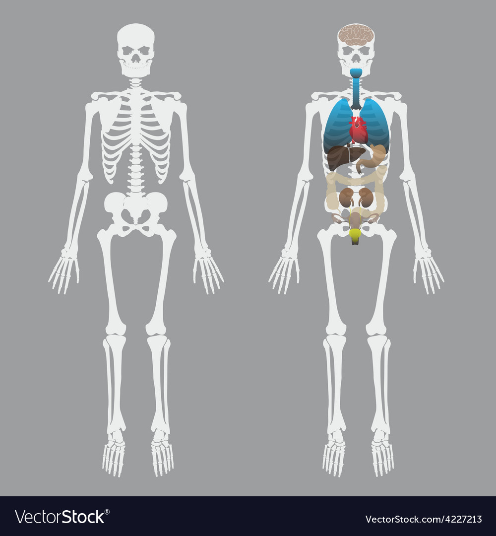 White human bones skeleton with human organs eps10 vector | Price: 1 Credit (USD $1)