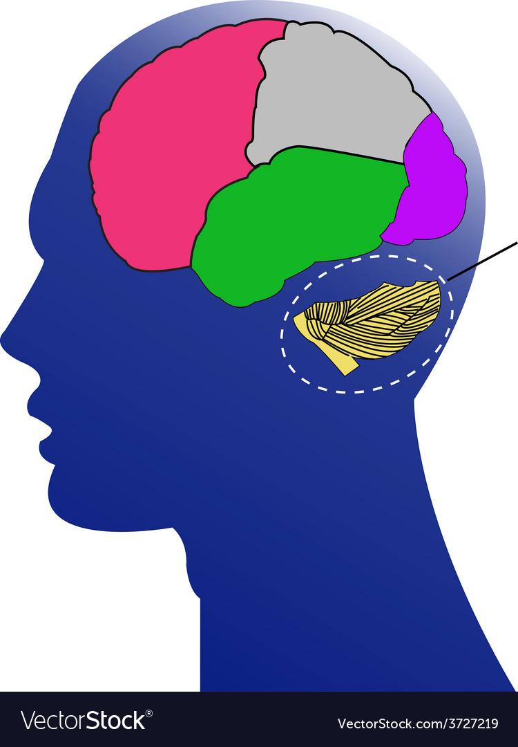 Brain anatomy vector | Price: 1 Credit (USD $1)