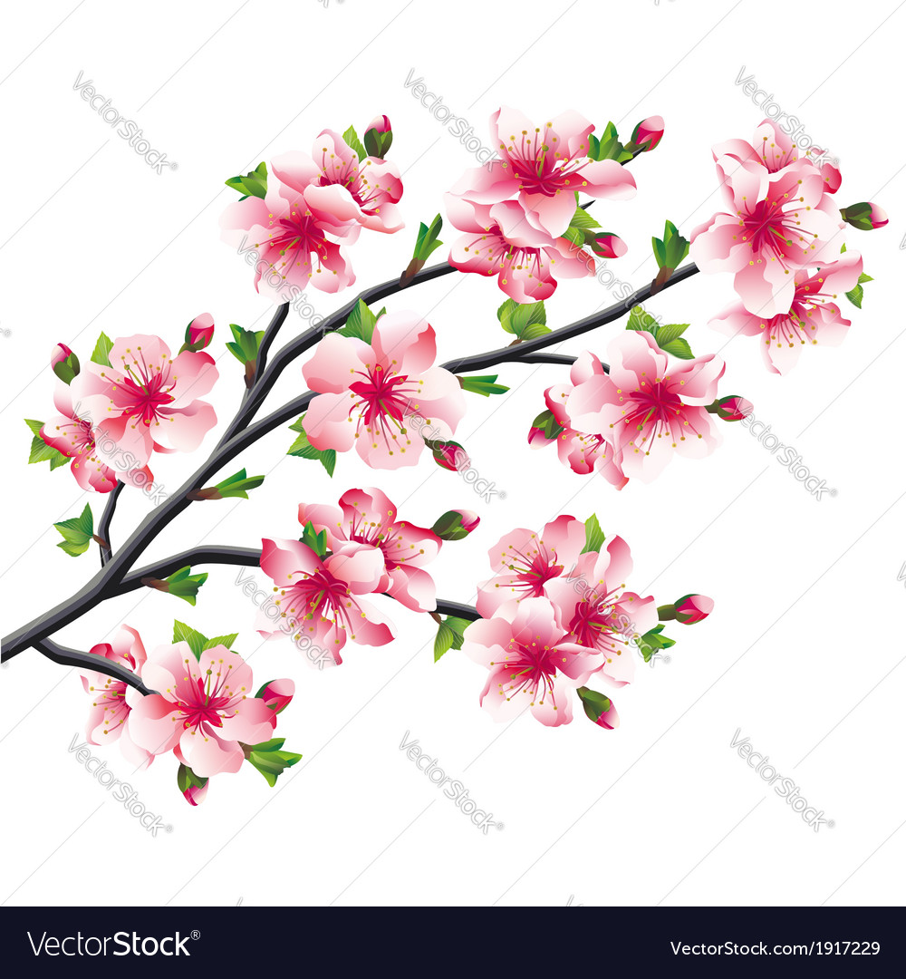 Cherry blossoms branch japanese tree sakura vector | Price: 1 Credit (USD $1)
