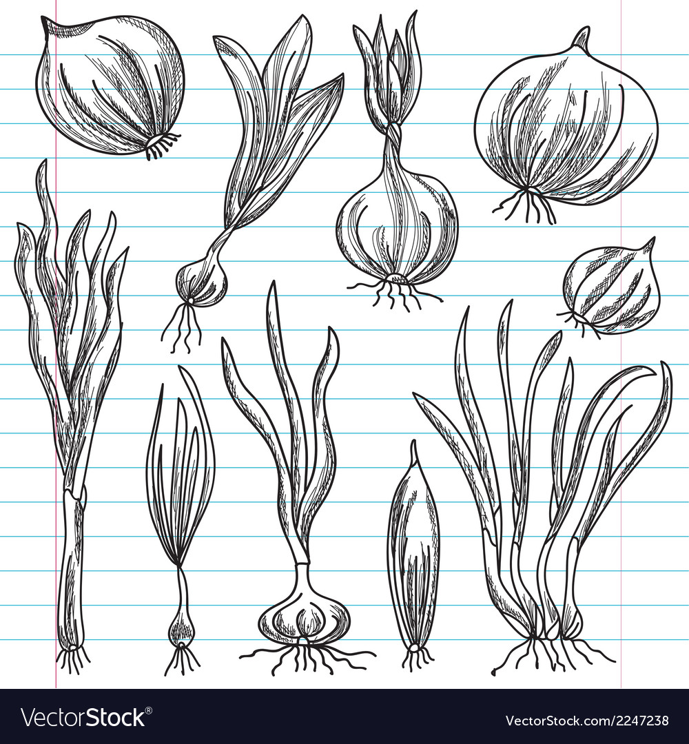 Set of onions vector | Price: 1 Credit (USD $1)