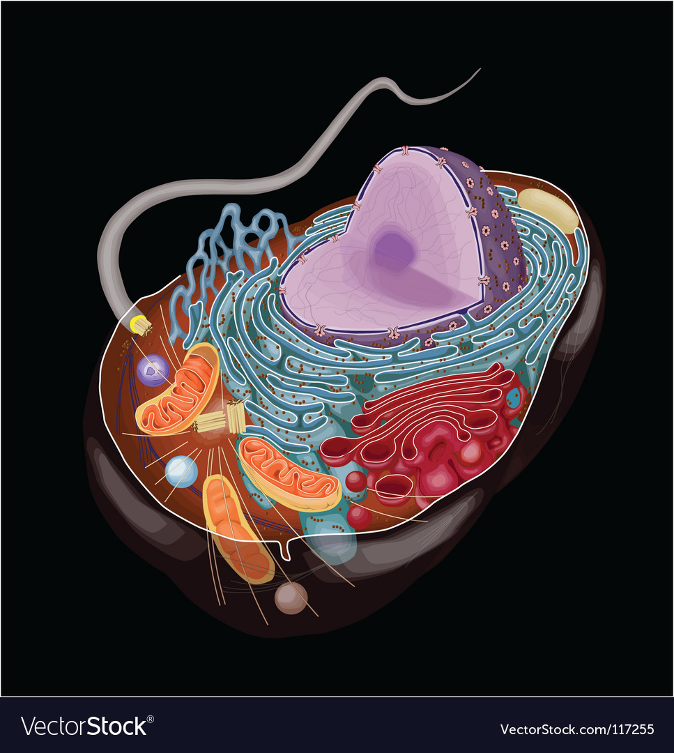 Anatomy animal cell vector | Price: 3 Credit (USD $3)