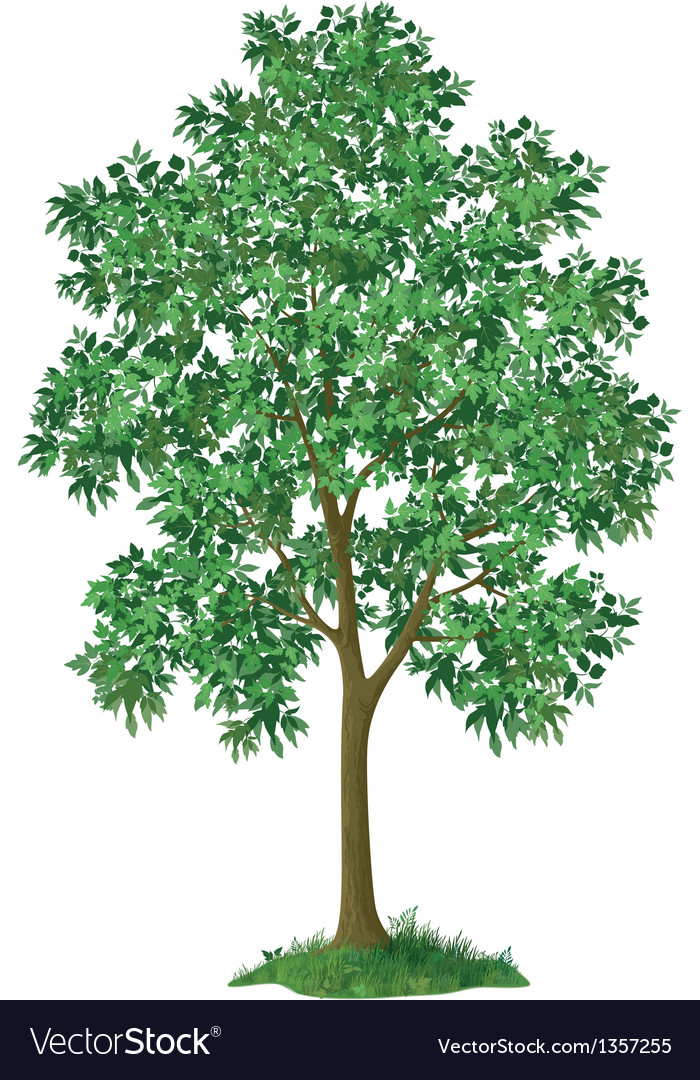 Maple tree and green grass vector | Price: 1 Credit (USD $1)