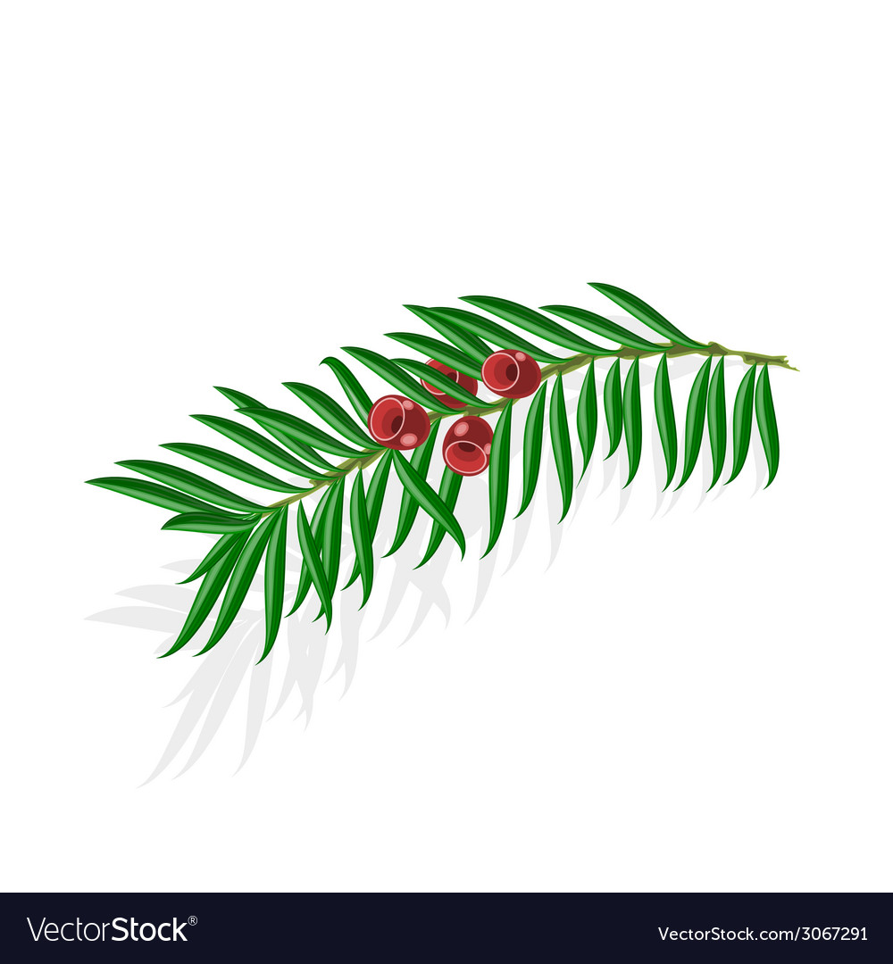 Yew sprigs with red berries isolated vector | Price: 1 Credit (USD $1)