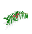 Yew sprigs with red berries isolated vector