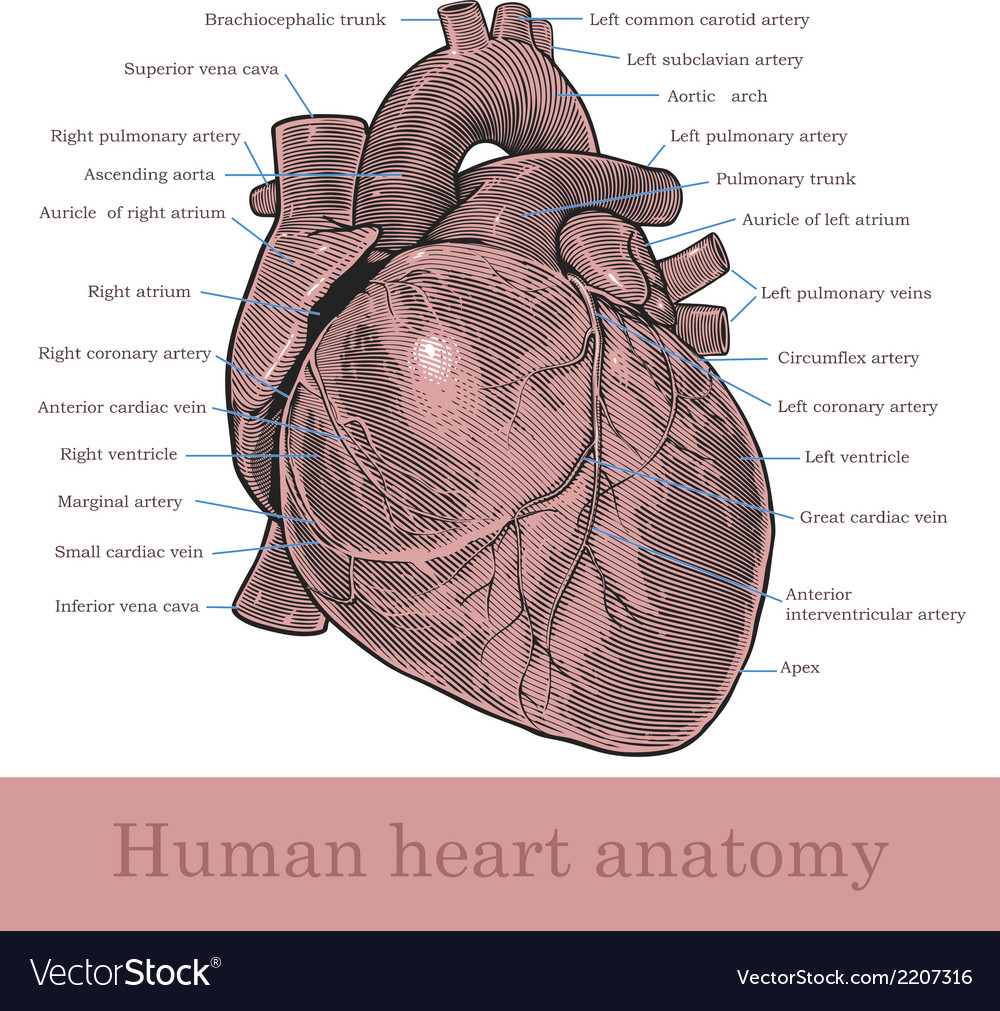 Human heart anatomy vector | Price: 1 Credit (USD $1)
