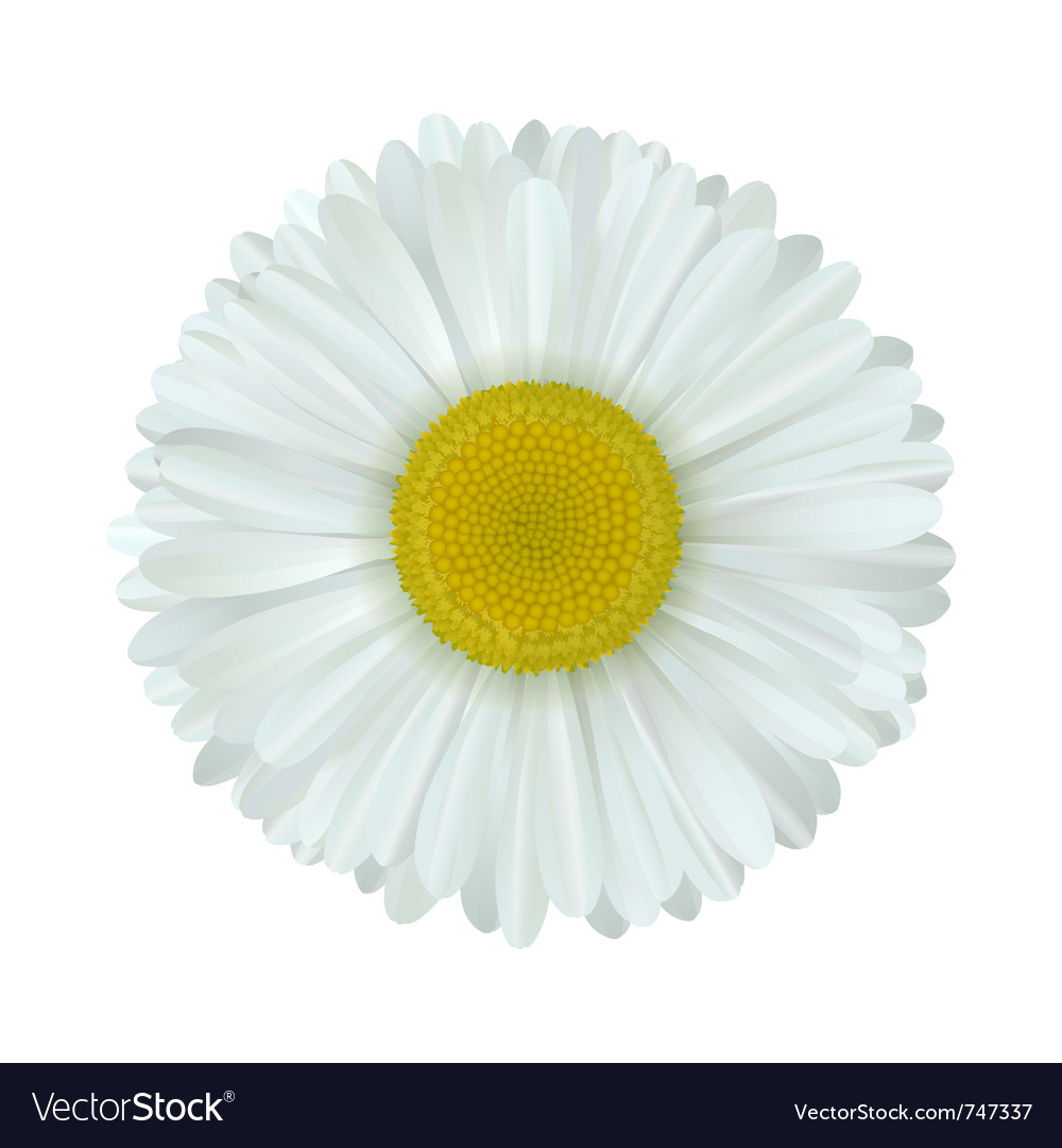 Camomile flower vector | Price: 1 Credit (USD $1)